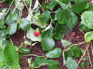 First strawberry